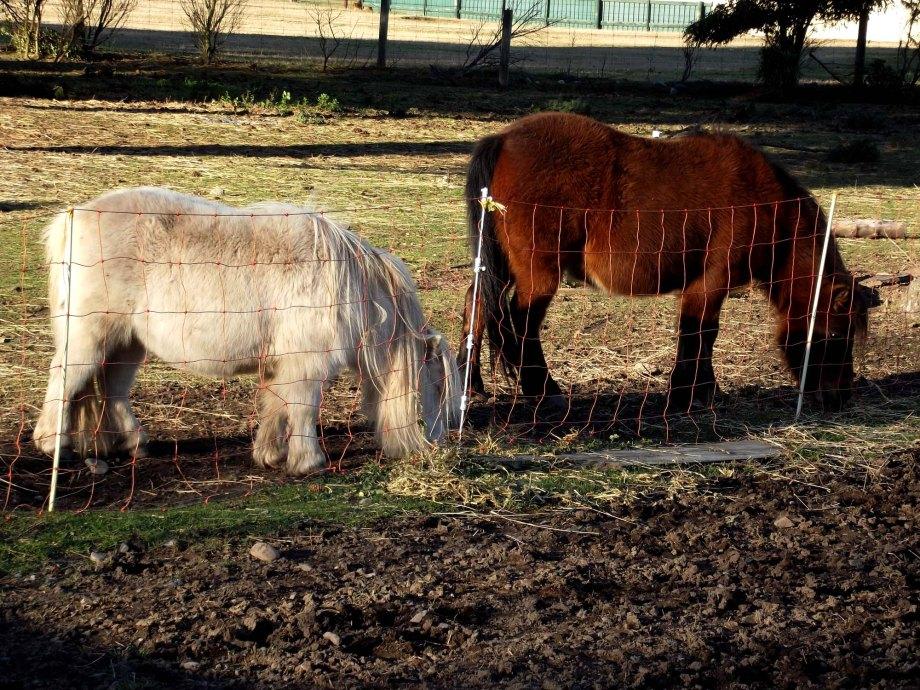 shaggy_ponies_7464_sm